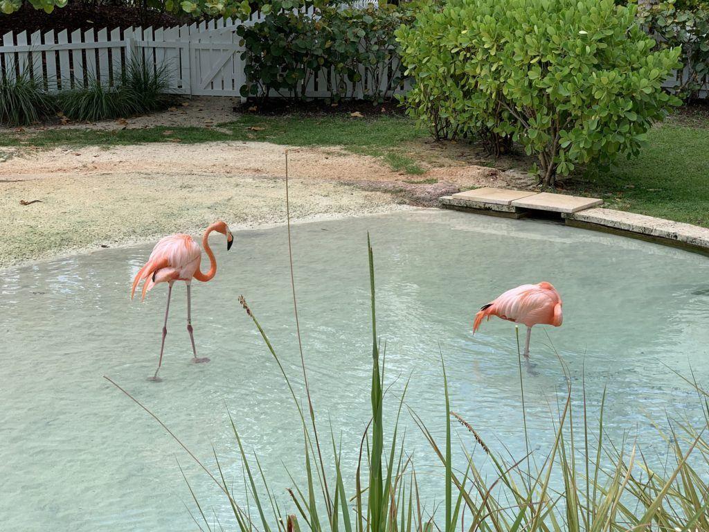 Flamingoes at Baha Mar Hotel